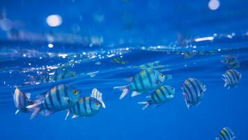 Striped Fish swimming Underwater